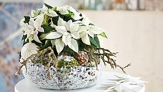 Bílá vánoční hvězda v ledové míse aneb O bílých Vánocích už nemusíte jen snít