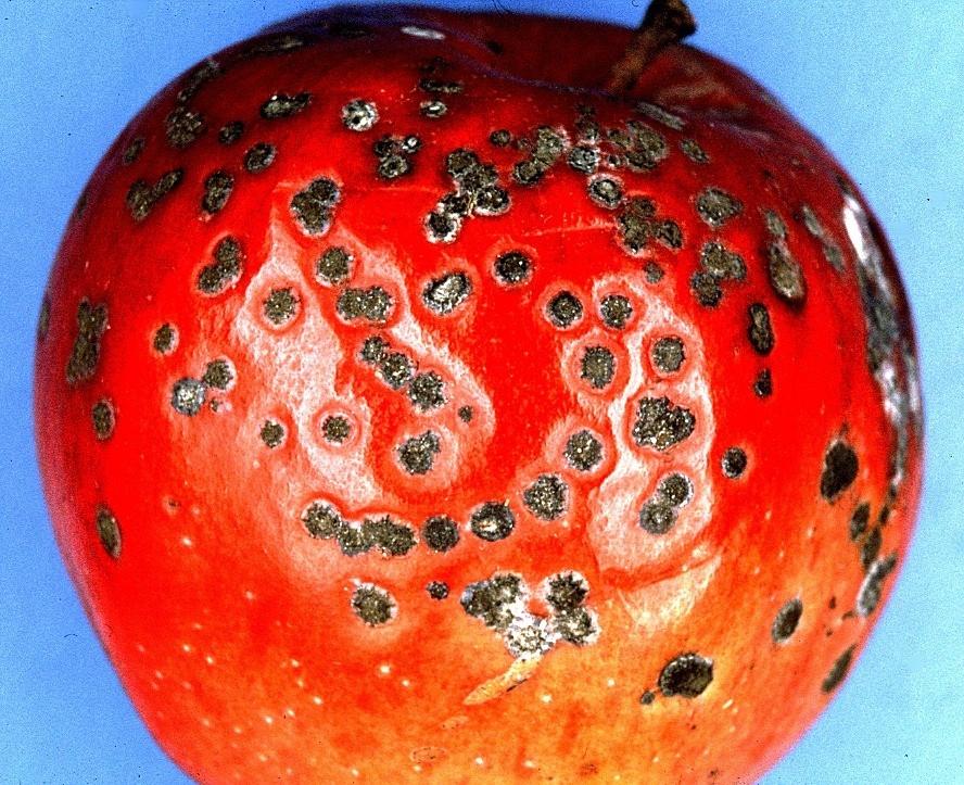 Ochrana jádrovin proti strupovitosti a padlí