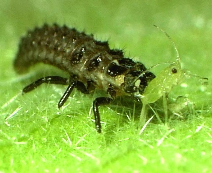Larva slunéčka požírající mšici