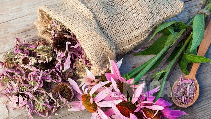 Echinacea: květy se sbírají od června do srpna a  suší ve stínu při teplotě do 30  °C