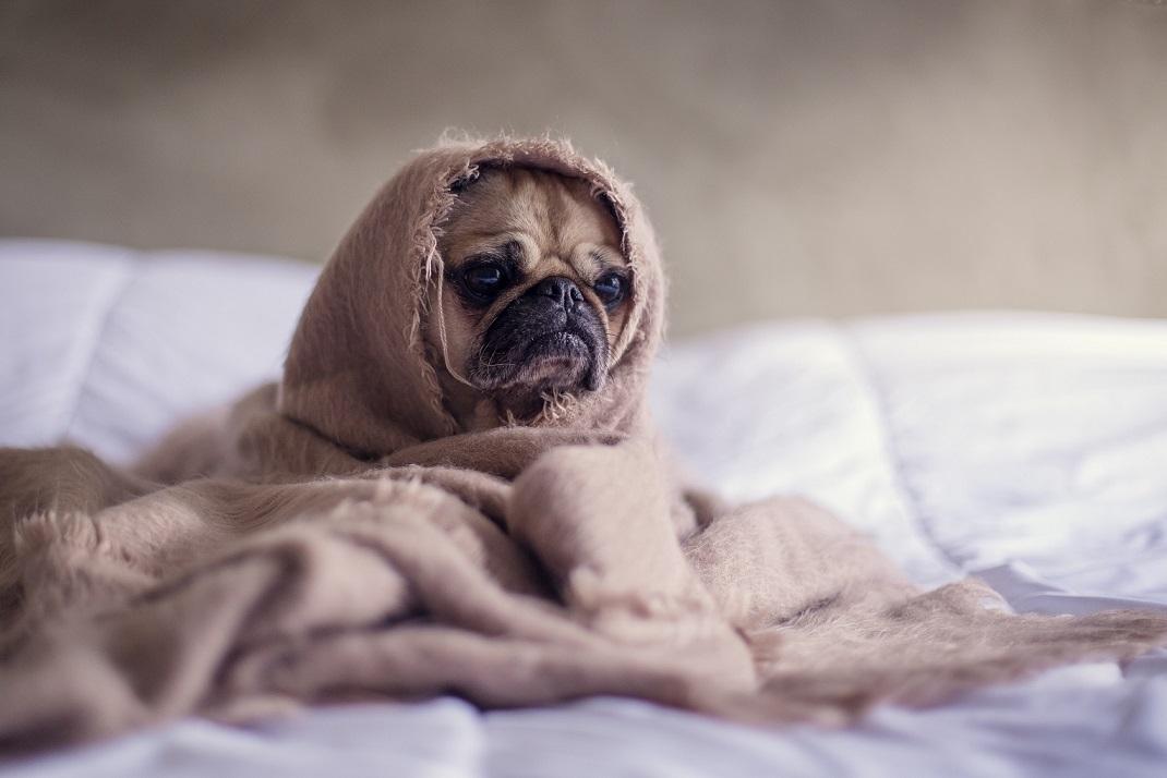 I pes může trpět chřipkou. Jak poznat nemoc a následně léčit?