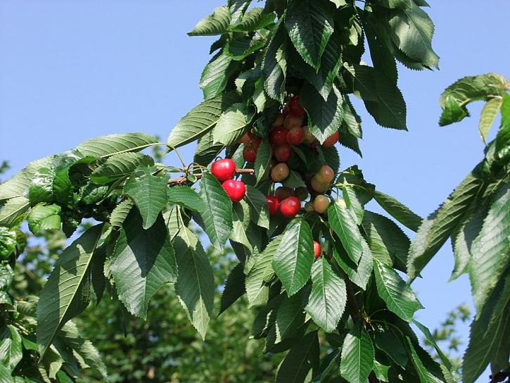 Agro CS: Péče o stromy po sklizni