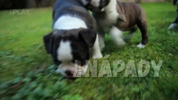 Plemeno psa Bostonský teriér