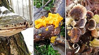 Posilování imunity houbařením? Vúnoru? Ano! Léčivých hub je teď plný les