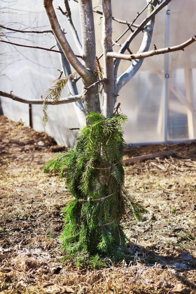 Chvojí ochrání stromky i před okusem zvěře