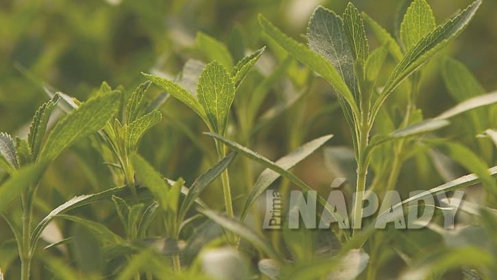 Stévie sladká (Stevia rebaudiana) se dá pěstovat venku na slunném záhoně; nejlépe se jí daří ve skleníku
