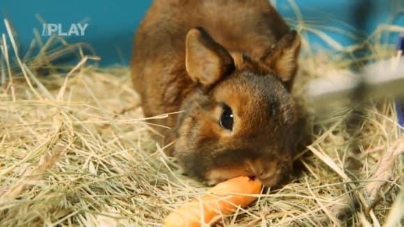 Jak se starat o zakrslého králíka