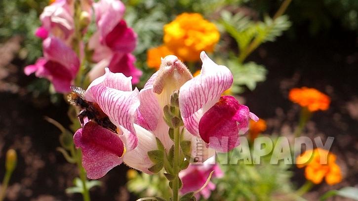 Hledíky: jen čmeláci se k pylu a nektaru ukrytému hluboko v květech umí dostat