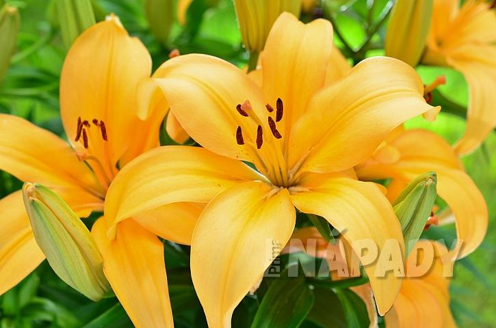 Naše krásné lilie nám může napadnout a zničit škodlivý chřestovníček liliový (Zdroj: depositphotos.com)