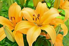 Chřestovníček liliový dokáže zničit celou úrodu lilií