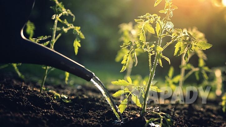 Jak chránit zahradu před vedrem a suchem: rajčata zaléváme zásadně jen ke kořenům