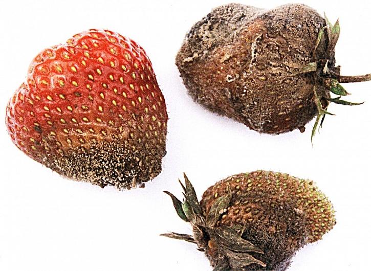 Choroby a škůdci jahodníku