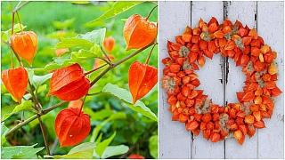 Mochyně židovská třešeň: Oranžové lampionky rozzáří každou podzimní zahradu