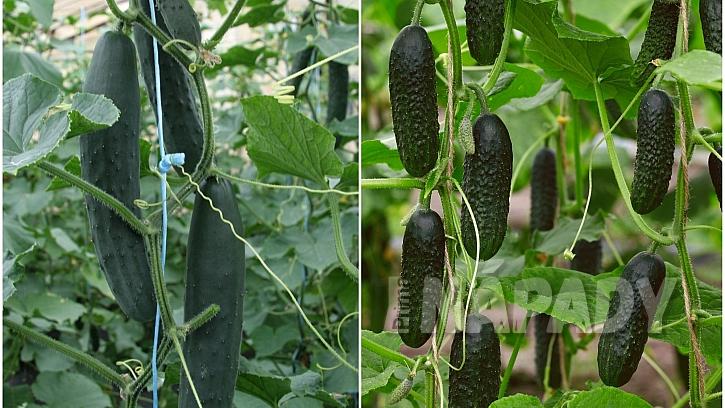 Okurky na síti: vertikální pěstování - plody odrůd Amanda F1 a Dafne F1