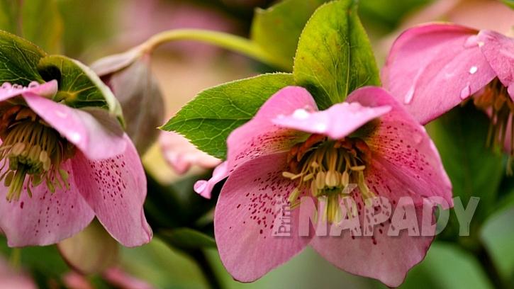 Čemeřice východní (Helleborus orientalis)