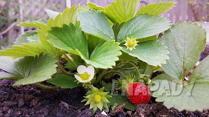 Co udělat v březnu na zahradě: kdo podcení jarní péči o jahody, ochudí se o kvalitní plody.