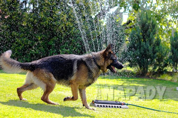 Německý ovčák je známý pro svou vysokou inteligenci, pracovitost a poslušnost