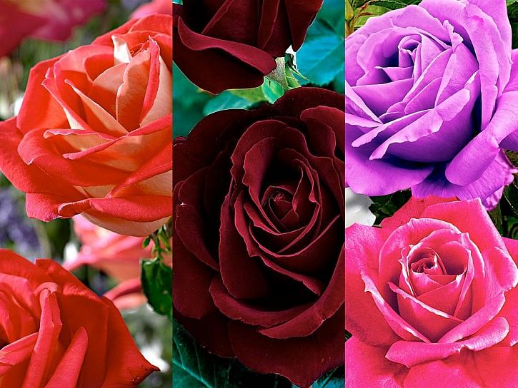 V jarním katalogu Bakker najdete pestrou nabídku nádherných růží