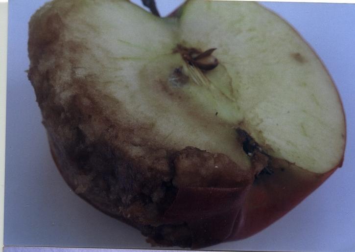 Nahromadění aromatických látek pod slupkou způsobí hnědnutí slupky