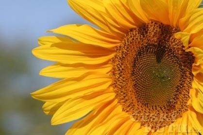 Slunečnice roční