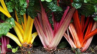 Jak vypěstovat mangold, zdravou zeleninu plnou vitaminů