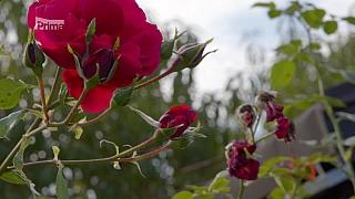 Péče o růže a traviny na podzim