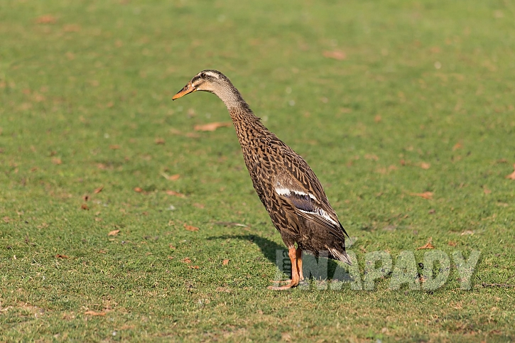 Kachna indický běžec