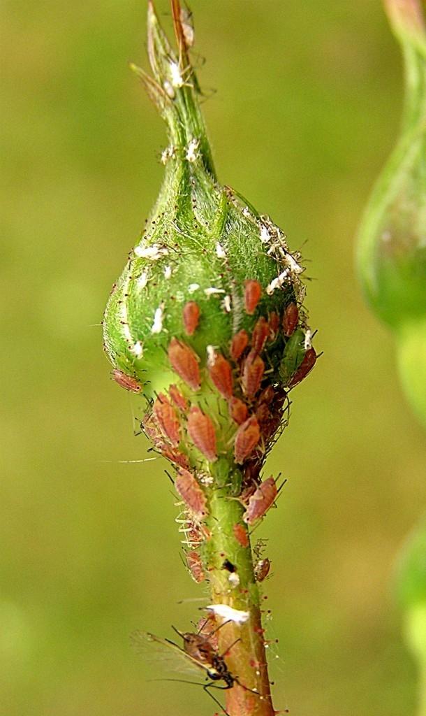 Růže často napadají mšice a svilušky