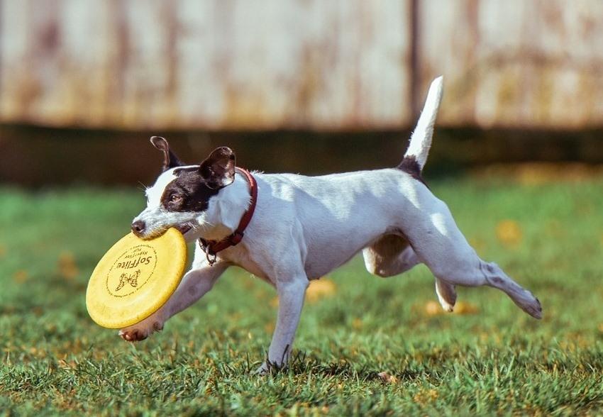 Jak zabavit aktivního čtyřnohého kamaráda: Frisbee se psem