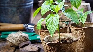 Víte, jak vypadá zdravá sazenice a jak si vypěstovat vlastní? My ano!