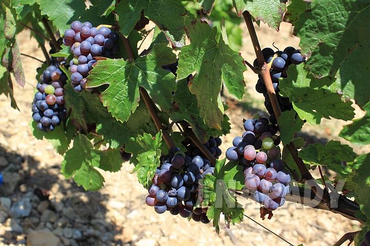 Vinné hrozny na mošt
