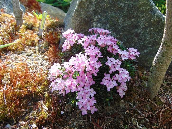 Nejmenší lýkovec v květu