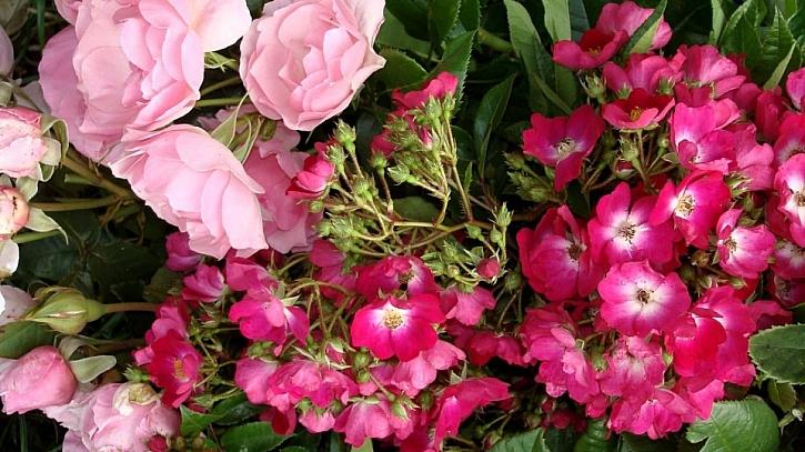 5 tipů na sázení růží: růže sadové (keřové) Astrid Lindgren a Red Yesterday