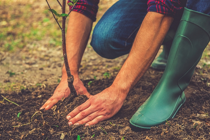 zahrnovaní vysazeného stromu zeminou