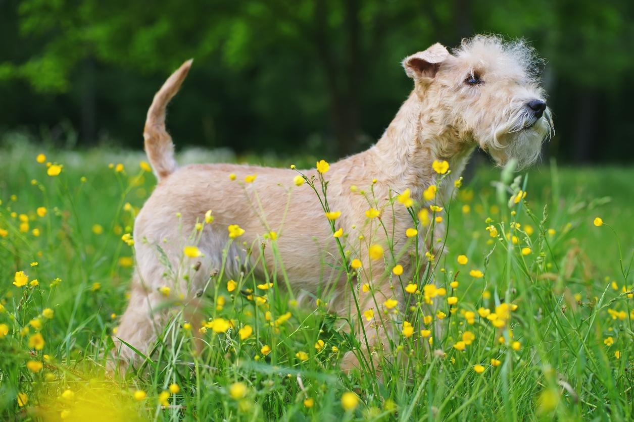 Lakeland teriér: Přátelský a hravý pes, kterého si snadno spletete s velšteriérem