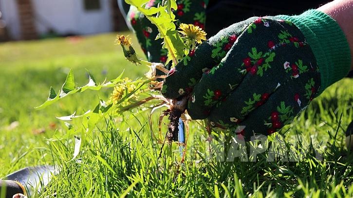 Jak chránit zahradu před vedrem a suchem: pryč s plevelem, je to zloděj vláhy