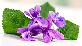 Překvapení! Fialka není jen voňavá, ale i léčivá bylinka k zakousnutí