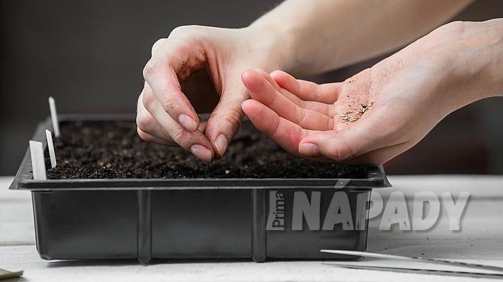 Jak si doma předpěstovat sazenice rajčat  2