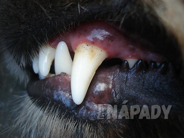 Špatný dech (halitosis) je častým problémem zvířat