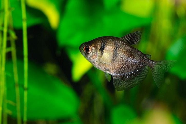 Tetra je pro začátečníky nejvhodnější rybka do akvária (Zdroj: Depositphotos)