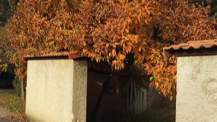Mišpulový strom