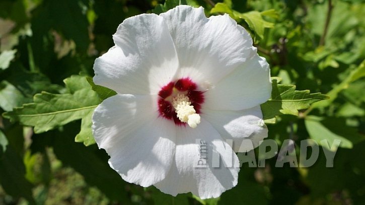 Ibišek syrský (Hibiscus syriacus) kultivar 'Red Heart'