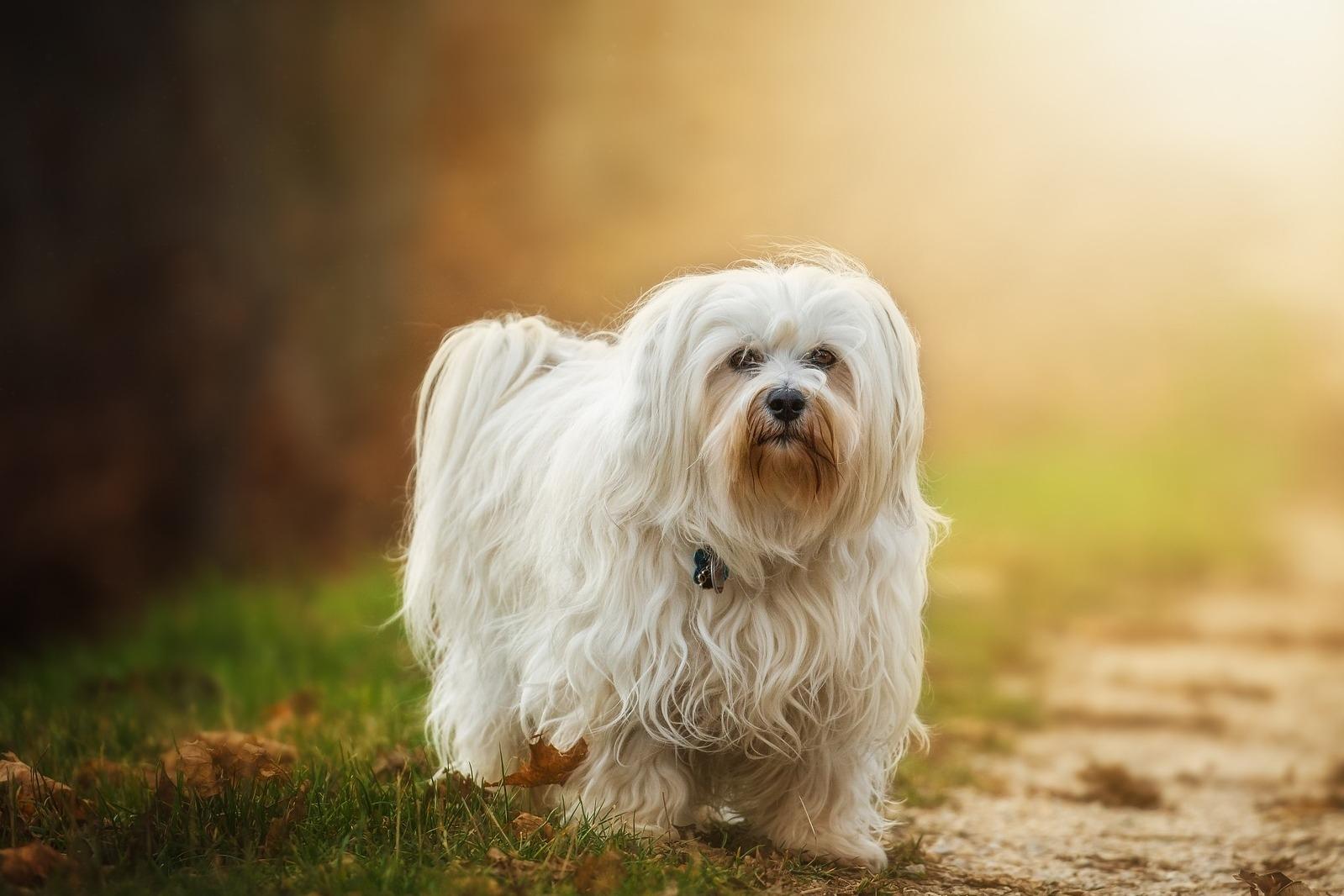 Havanský psík: Veselý ainteligentní psík se silnou závislostí na páníčkovi