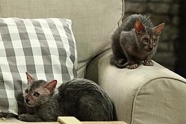 Kočičí plemeno lykoi: Málo známé krásky s vlčím kožíškem