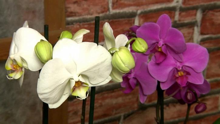 Jak množit orchideje