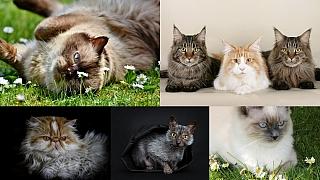 Kočka jako kočka? Nenechte se mýlit, kočičí plemena se liší vzhledem i povahou