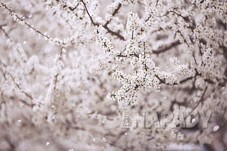 Krásná kvetoucí třešeň
