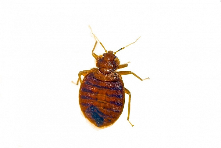 Ploché žlutohnědé tělo štěnice je velmi dobře rozeznatelné od jiných neškodných druhů hmyzu