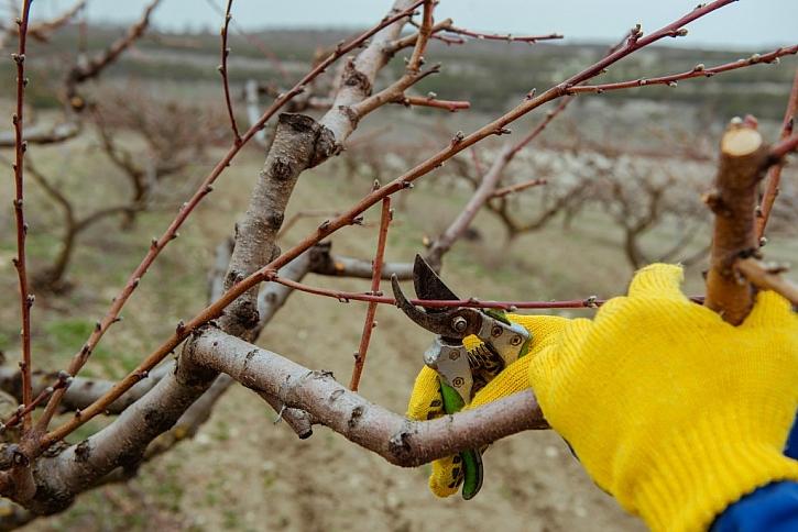 Ovocné stromy v zimě prořezávejte až v době, kdy teplota neklesá pod -5°C. Ideální je konec února a počátek března.