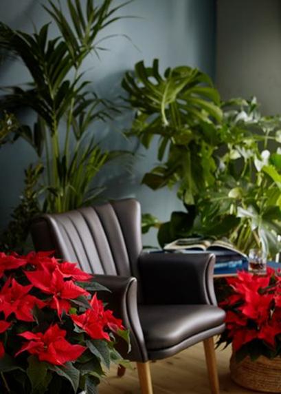 Vítejte v džungli. Jasně červeně zbarvené poinsettie vytvářejí dokonalý kontrast s ostatními rostlinami i zeleně vymalovanou stěnou a interiér je díky nim extra útulný a zářivý